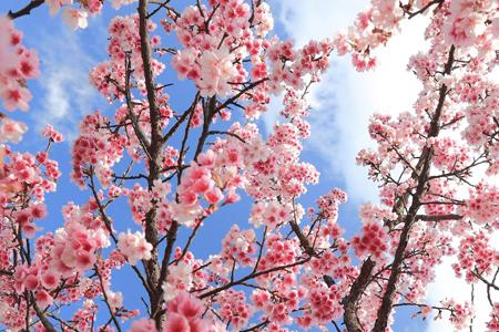 桜のお花見での行動でわかる、あなたの二重人格度