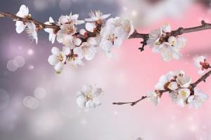 桜の花びら おまじない