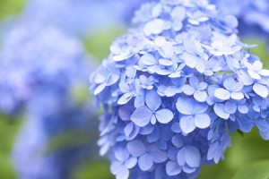 6月は恋の月、「アジサイ」の写真で恋愛運アップ!