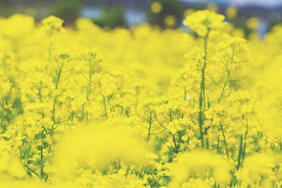【3月の開運壁紙】金運は「菜の花」の写真!